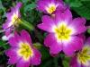 purple-primrose-primula-vulgaris